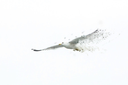Big white seagull flying solo alone white sky 写真素材