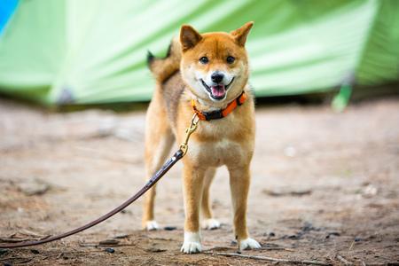 Very happy shiba inu japanese dog on the leash