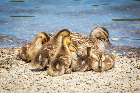 Family of cute little ducklings together at the lake in summer