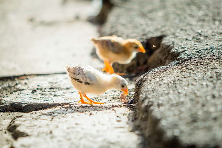 Little chickens on the street wild and small alone