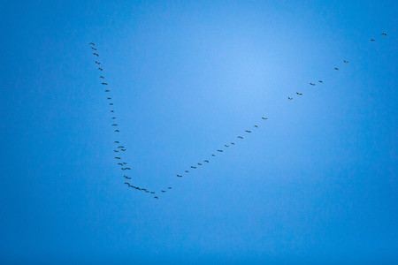Geese flying back home at spring concept warmth