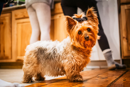 Cute yorkshire terrier girl in the kitchen with people