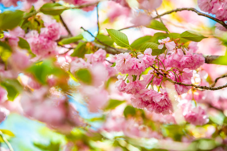Beautiful spring cherry blossom flowers bloom sunny day