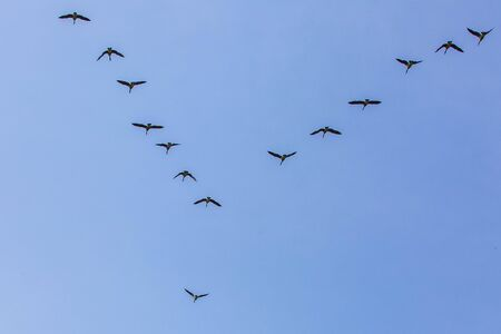 Geese flock flying south as winter coming cold