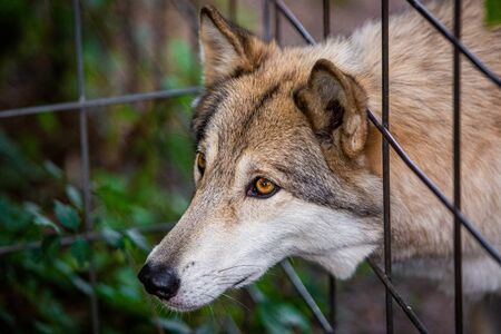 Wild and sad wolf in the cage captivated at day