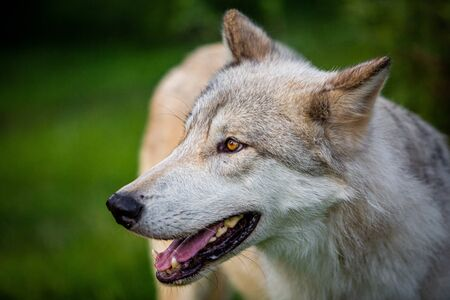 Single beautiful wild wolf outdoors at summer day
