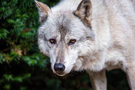 Solo hermoso lobo salvaje al aire libre en el día de verano