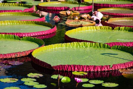 Giant amazon water lily closeup at the pond