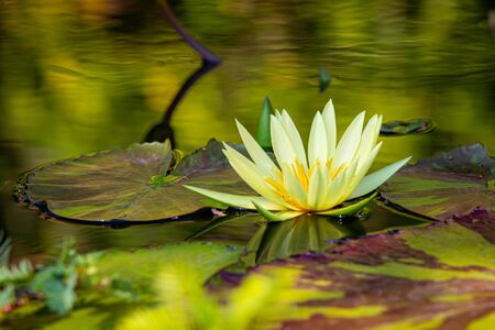 Isolated water lily closeup at summer day