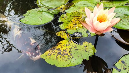 Isolated color water lily closeup at summer day
