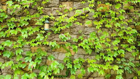 Green ivy vintage wall with lantern at day light