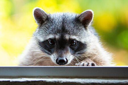 Adorable raccoon portrait close up furry pet face