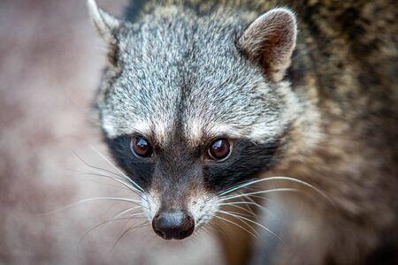 Adorable raccoon portrait close up furry pet