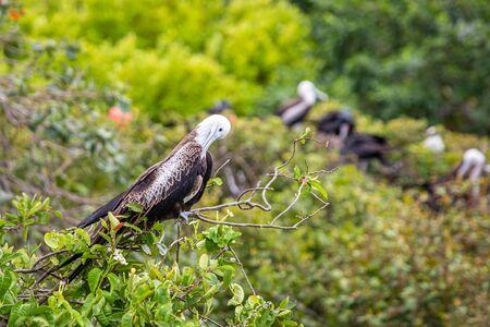 Magnificent frigate bird in natural habitat in Belize islands Standard-Bild