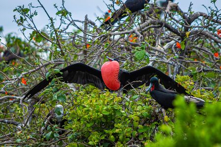 Magnificent frigate bird in natural habitat in Belize islands Stock Photo