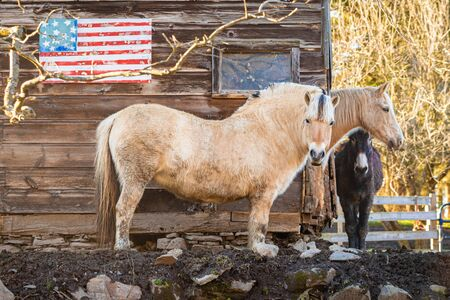 Couple of horses at the farm in front of USA flag freedom Фото со стока