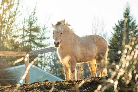 Beautiful white horse at sunset in fron of the farm symbol of freedom alone