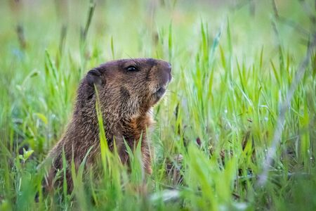 Curious wild groundhog on the field alone in grass