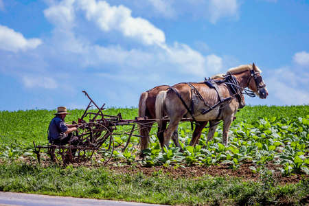 Lancaster, PA / USA - 7/4/2013: Amish farmer in a retro carriage on the field
