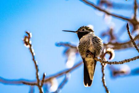 Mountain hummingbird in colorado mountain Foto de archivo