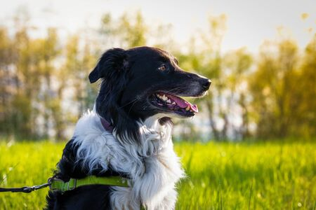 Beautiful sheepdog outside on summer day on leash close up