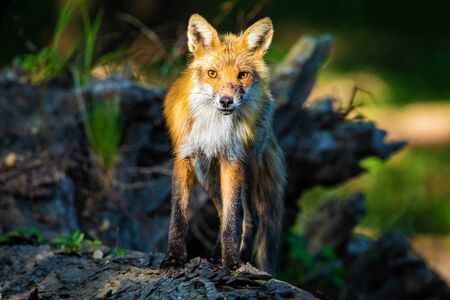Portrait of cute wild fox in the forest hunting around