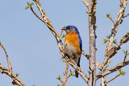 Bluebird portrait close up in spring time at day