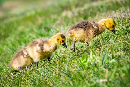 Cute baby canadian gosling birds in the wild at spring day