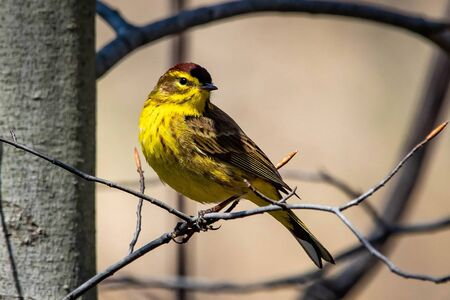 Cute palm warbler portrait close up in spring day