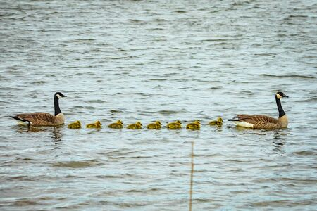 Cute baby canadian gosling birds swimming in the wild with parents at spring