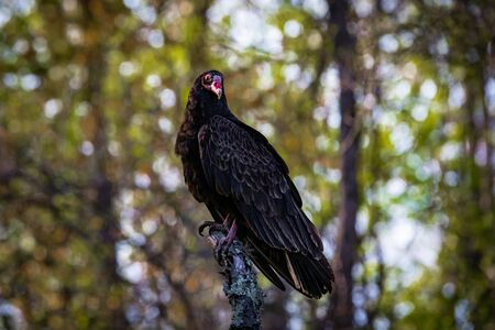Large turkey vulture portrait close up in summer sunny day