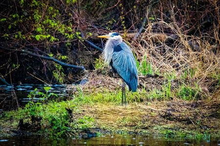 Great blue heron in swamp alone in spring day