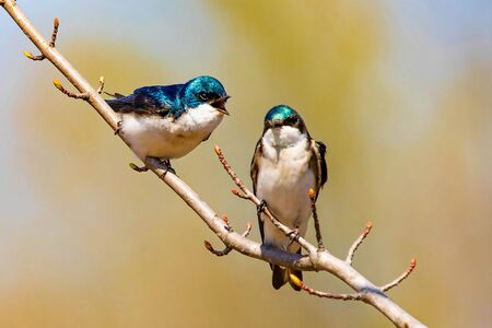 Cute tree swallow birds couple mating close up portrait in spring day