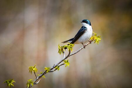 Cute tree swallow bird close up portrait in spring day