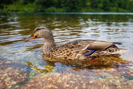 Cute close up duck portrait in a clean summer lake