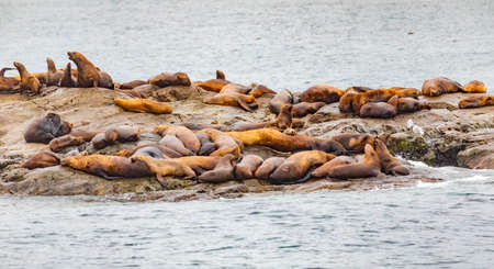 Steller sea lions from gulf of alaska Whittier cruise view