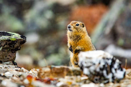 Cute Arctic ground squirrel close up portrait staring at the camera Foto de archivo