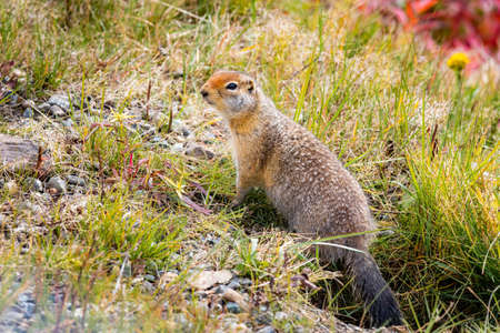 Cute Arctic ground squirrel close up portrait from Alaska Denali park
