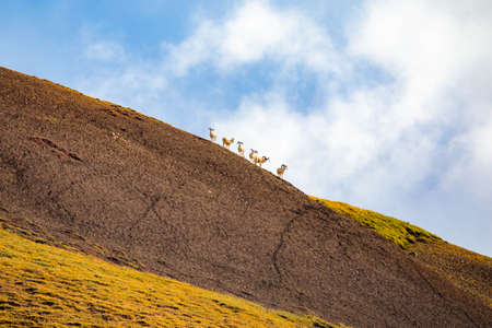 Group of goats on top of the hill at Denali national park Alaska