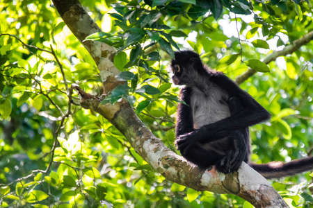 Cute adorable spider monkey close up natural habitat in jungle on the tree Banco de Imagens - 162194879