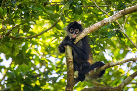 Cute adorable spider monkey close up natural habitat in jungle on the tree Banco de Imagens - 162194882