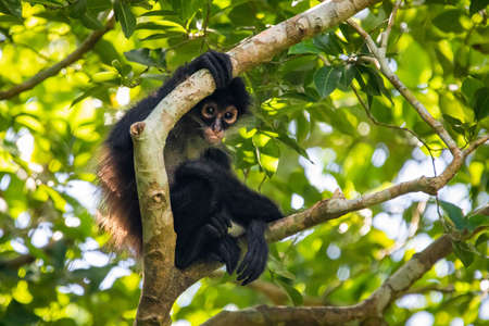 Cute adorable spider monkey close up natural habitat in jungle on the tree Banco de Imagens - 162194884