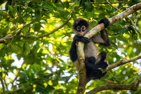 Cute adorable spider monkey close up natural habitat in jungle on the tree Banco de Imagens - 162194887