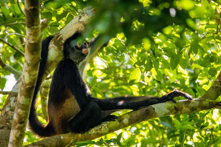 Cute adorable spider monkey close up natural habitat in jungle on the tree Banco de Imagens