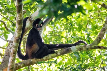 Cute adorable spider monkey close up natural habitat in jungle on the tree Banco de Imagens - 162194752