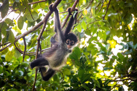 Cute adorable spider monkey close up natural habitat in jungle on the tree Banco de Imagens - 162194765
