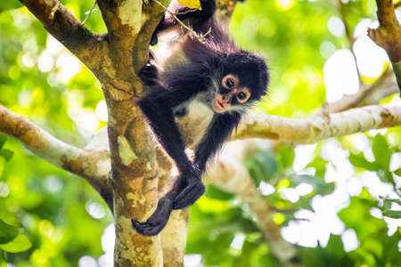 Cute adorable spider monkey close up natural habitat in jungle on the tree Banco de Imagens - 162194780