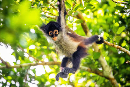 Cute adorable spider monkey close up natural habitat in jungle on the tree Banco de Imagens - 162194787