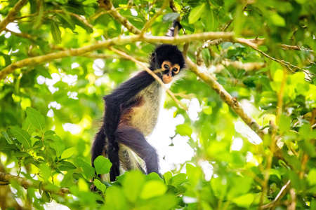 Cute adorable spider monkey close up natural habitat in jungle on the tree Banco de Imagens - 162194789