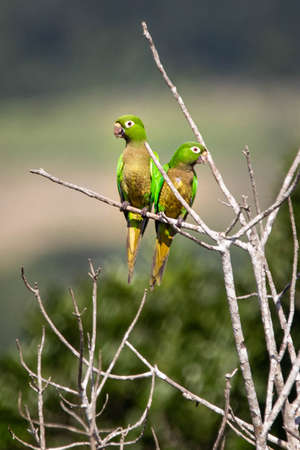 Couple of green parrots on the tree close up in the jungle together